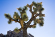 Joshua Tree Sunburst