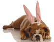 english bulldog wearing bunny ears isolated on white