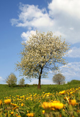 cherry-tree and dandelions