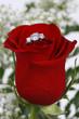 Ring in Red Rose, Closeup