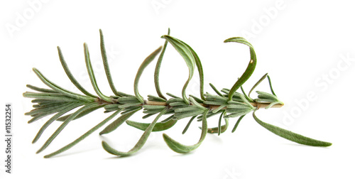 Rosemary fresh branch