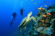 Turtle and Scuba Divers - 11532455