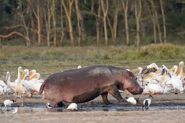 hippo surrounded by pelicans