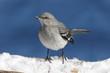 Mockingbird On Blue