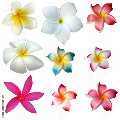 In de dag Frangipani des fleurs de frangipanier sur fond blanc