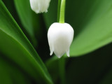 lily of the valley (Convallaria majalis)-