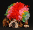 english bulldog dressed up with clown wig