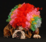 english bulldog dressed up with clown wig poster