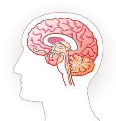 Cerveau - coupe sagittale