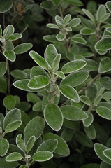Evergreen shrub leaves with droplets of water