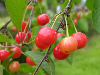 Weichseln am Baum/sour cherries on tree