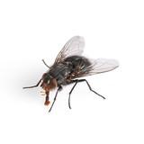Common House Fly Macro