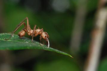 Hormiga arriera (Atta y Acromyrmex)