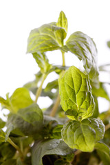 .Fresh green mint
