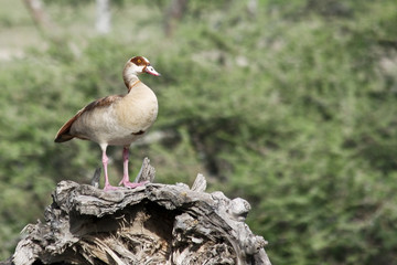 Wild Duck on a Snag in Serengeti