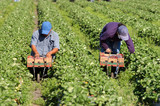 Strawberry picker migrant woorkers