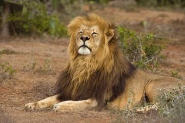 A regal Lion looks down his nose