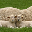 Two little lambs looking at you