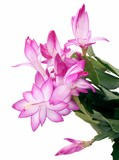 pink blooming succulent plant poster