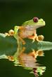 Red eye tree frog Agalycnis callidryas from Costa Rica