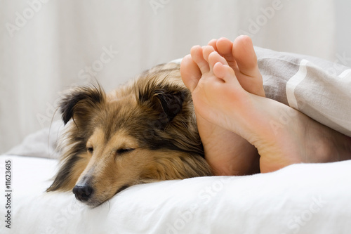 Sheltie sleeping with her owner - 11623685