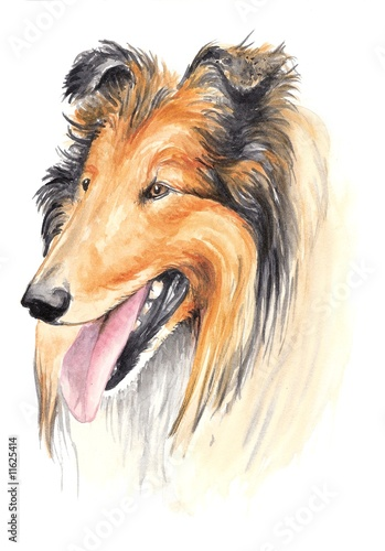 watercolor - collie