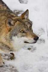 Wolf in einem Waldim Winter