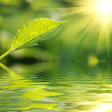 Fototapety Fresh green leaf highlighted by sun.