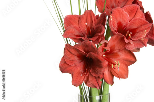 red flower, amarilis on white background