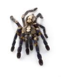 Sapphire Ornamental Tarantula poster