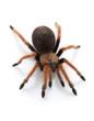 Mexican Red-legged Tarantula