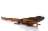 Transvaal Girdled Lizard poster