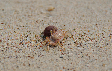 Miniature Crab on the Beach
