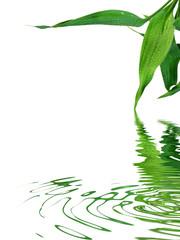 le bambou de la chance