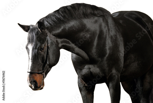 Dark horse on white background