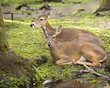 Two White-tail Deer