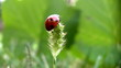 Ladybird on a grass.