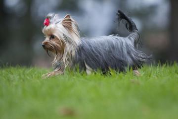 terrier du yorkshire gambadant sur la pelouse