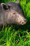 swine on grass poster