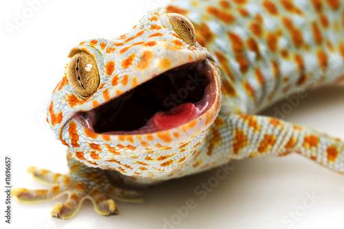 Tokay Gecko - 11696657