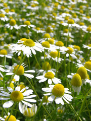 Kamillenfeld/field of camomile