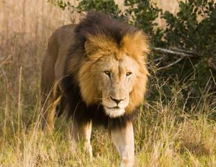 Stalking Wild Lion, On Safari