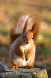 red squirrel on tree stub poster