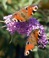 Tagpfauenaugen; Schmetterlingsstrauch