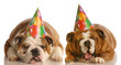 two bulldogs wearing birthday hats complaining