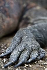 Marine Iguana Claw