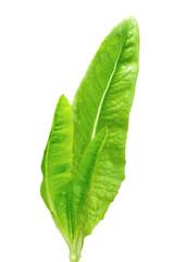 Heirloom Lettuce (Deer Tongue)