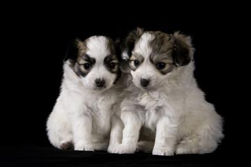 Papillon puppys