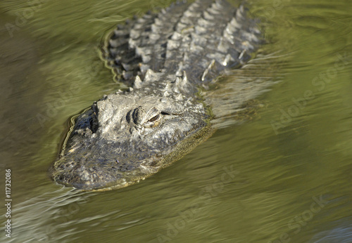 Alligator in Motion