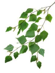 branch of a birch 2